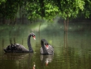 In the Mikhailovsky garden appeared a pair of black swans